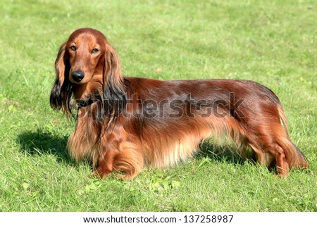 The typical Dachshund Standard Long-haired Red dog - stock photo