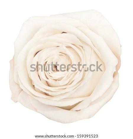 The up shot of beautiful white rose - stock photo