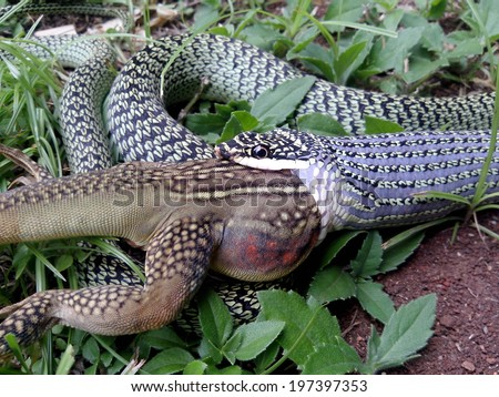 The venom green snake is eating  butterfly lizard - stock photo