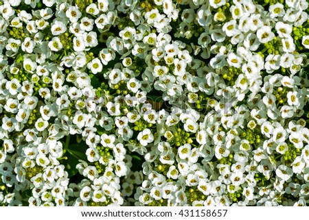 The very small and scented white flower of ALYSSUM flower. The common name can be snowdrop flower. - stock photo