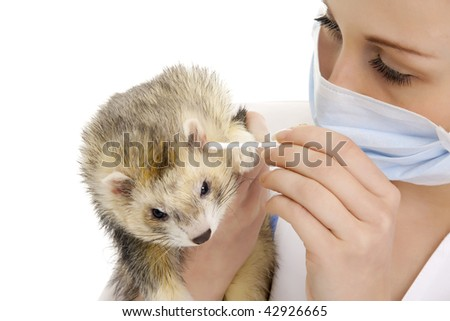 The veterinary surgeon with ferret. Isolated. - stock photo