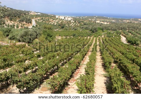 The vineyard in Crete at summer, Greece - stock photo
