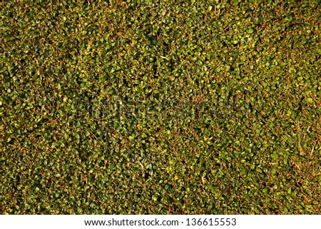 The wall covered by green leaves. Natural background from climbing plants - stock photo