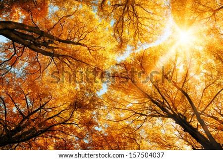 The warm autumn sun shining through the golden canopy of tall beech trees - stock photo