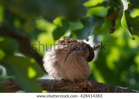 The washing house sparrow (Passer domesticus). The washing bird (house sparrow) on the branch. - stock photo