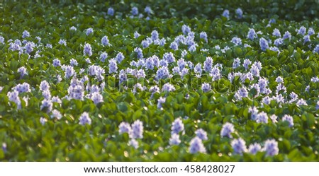 The water hyacinth flowers - stock photo