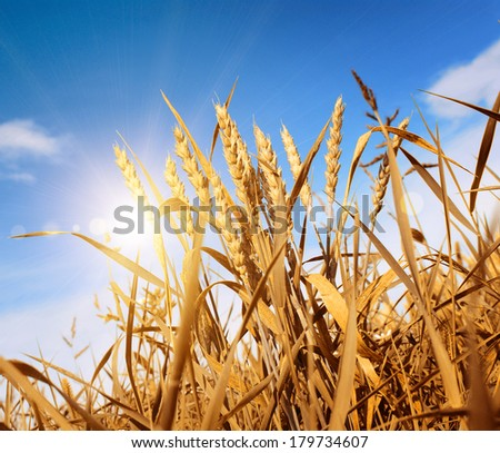 the weat field against a blue sky - stock photo
