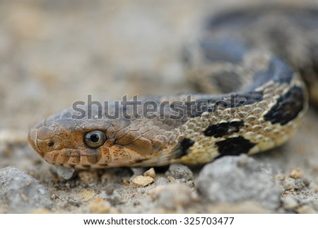 The western fox snake is an uncommon sight in Missouri, where this one was photographed. - stock photo