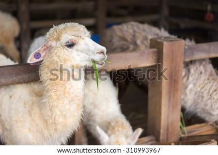 The white alpaca - stock photo