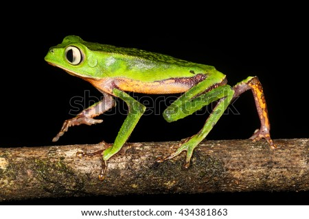 The white-lined leaf frog, is a species of frog in the Hylidae family. It is found in Bolivia, Brazil, Colombia, Ecuador, French Guiana, Guyana, Peru, Suriname, and Venezuela. - stock photo