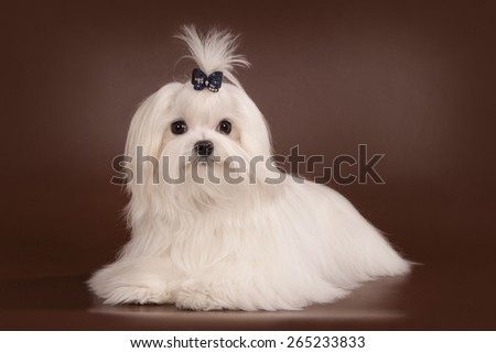 The white little dog of breed the Maltese lies on a brown background. - stock photo