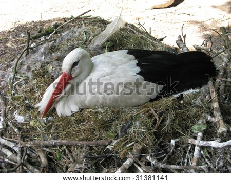 The White Stork (Ciconia ciconia) is a large wading bird in the stork family Ciconiidae, breeding in the warmer parts of Europe (north to Estonia), northwest Africa, and southwest Asia - stock photo