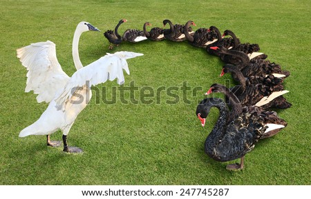 The White Swan stand on green grass field at the front of group black swans like coach of team. The concept of team leader and coaching controller. - stock photo