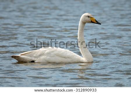 The whooper swan (Cygnus cygnus) - stock photo