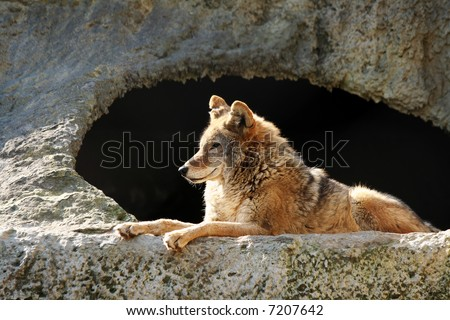 The wolf brightly shined by the sun lays near a cave - stock photo