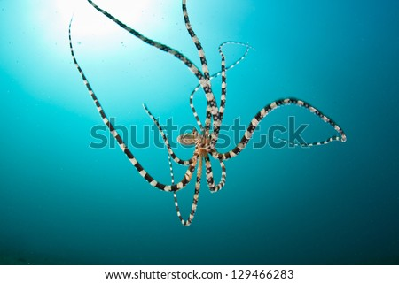 The wonderpus octopus (Wunderpus photogenicus) is a rare species of cephalopod found in the tropical western Pacific.  It was only recently described to science. - stock photo