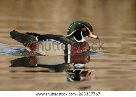 The wood duck or Carolina duck (Aix sponsa) - stock photo