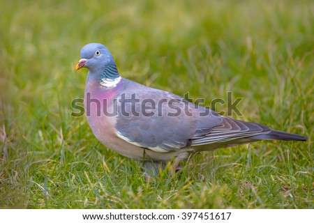The woodpigeon (Columba palumbus) is the largest and most common of Europe's doves and pigeons - stock photo