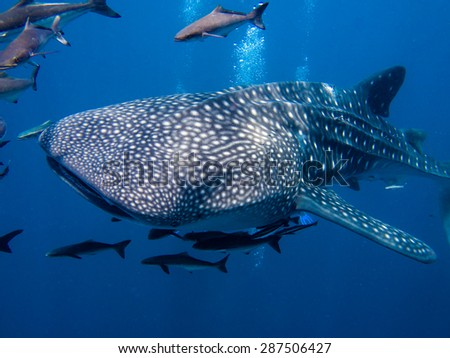 The worlds largest fish a whale shark, Rhincodon typus, swimming by with it's entourage. - stock photo