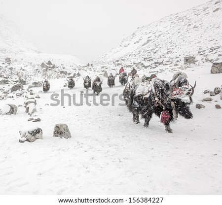 The yak caravan going from Everest Base Camp near Thokla lodge in snowstorm - Nepal, Himalayas - stock photo