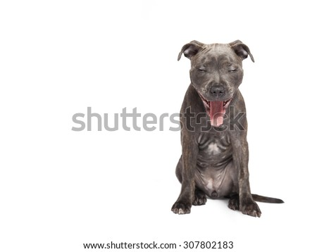 The yawning puppy dog of Pitbull, selected on the white background - stock photo