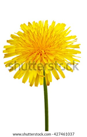 The yellow flower of a dandelion close up on white background with Clipping Path. - stock photo