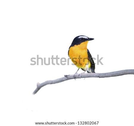 The Yellow-rumped Flycatcher (Ficedula zanthopygia) on white background. - stock photo
