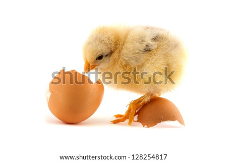 The yellow small chicks with egg isolated on a white background - stock photo