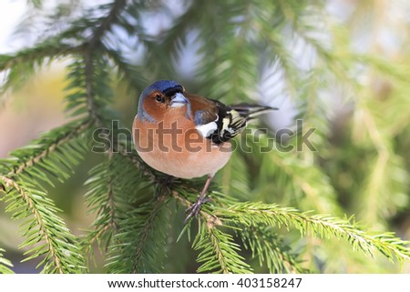 the young bird is a male Chaffinch sings on the branches of spruce in early spring in the Park - stock photo