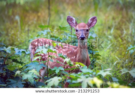 The young fawn hiding in a grassy meadow in Maryland - stock photo