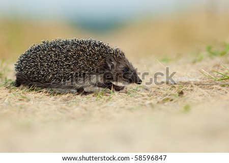 The young hedgehog left on hunting in a grass, evening. - stock photo