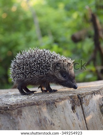 The young hedgehog on a wooden stub.Curious hedgehog walks in the woods on a sunny summer day. - stock photo