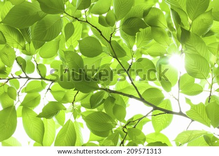 The Young Leaves Of Cherry Blossoms - stock photo