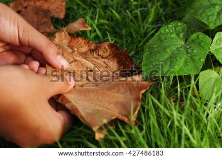 The young woman hand holding the dry teak leaf brown color under the green leaf  represent the botany and summer concept related idea. - stock photo