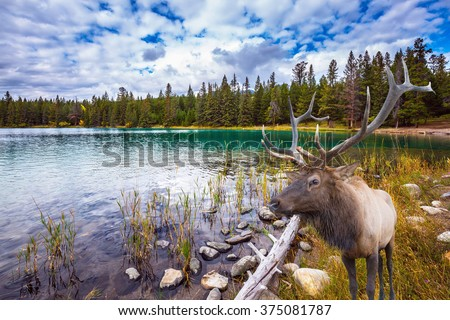"""Thel """"Golden Autumn"""" in the Rocky Mountains of Canada. Wonderful antlered deer on the shore of cold lake - stock photo"""