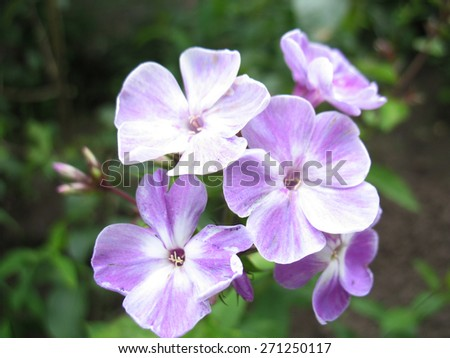 There are blue flowers and green grass - stock photo