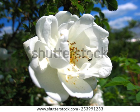 There are branch of a plant and white blossoming of rose - stock photo