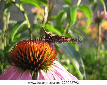 There are insect and plant. The insect (butterfly) on flower. - stock photo
