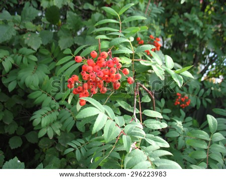 There are  red berries of ashberry. Closeup. - stock photo