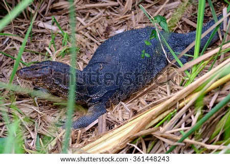 There is a Water monitor walking in the swamp. - stock photo