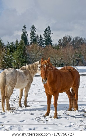 These are two horses in winter, one white, one brown, standing in snow with their long winter coats. - stock photo