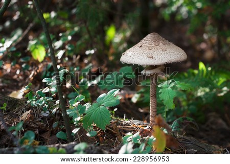 These mushrooms are popular food item when sauteed in melted butter. In central and eastern European countries this mushroom is usually prepared similarly to a cutlet. - stock photo