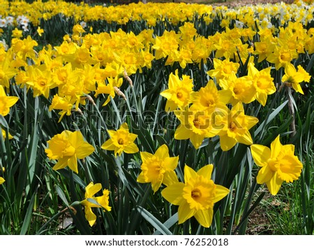 These sunny yellow daffodils are in full bloom in a roadside field in New England - stock photo