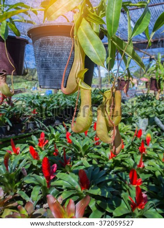 """They are plants """"nepenthes"""". Common name is """"tropical pitcher plants"""". - stock photo"""