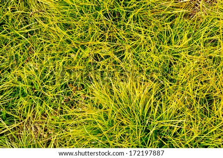Thick green-yellow grass background - stock photo