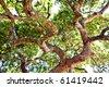 thick oak branch - seen below - stock photo