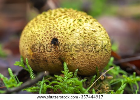 Thick-shelled earthball - stock photo