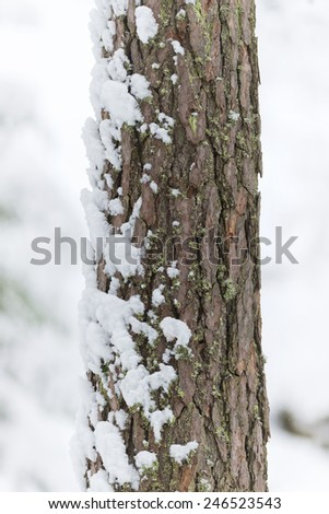 Thick tree trunk closeup during winter with one side covered with snow - stock photo