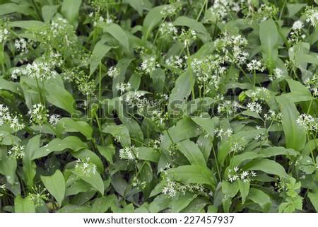 thickets of wild garlic - stock photo