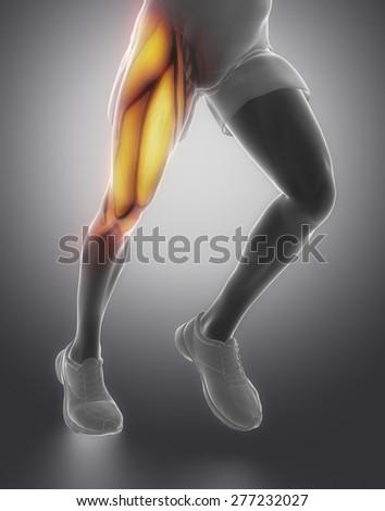 Thigh muscle anatomy - stock photo